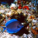 """Blue Tang"" by Lorraine_Sommer"