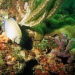 """""""Ocean Surgeonfish"""" by Lorraine_Sommer"""