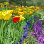 """Garden of tulips"" by aGinger"