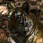 """""""Tiger_108"""" by RaysImages"""
