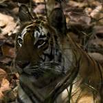"""""""Tiger_109"""" by RaysImages"""
