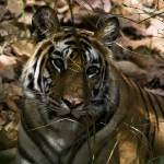 """""""Tiger_110"""" by RaysImages"""