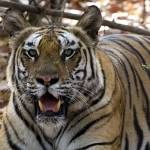 """""""Tiger_114"""" by RaysImages"""