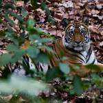 """""""Tiger_117"""" by RaysImages"""