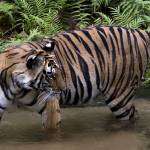 """""""Tiger_119"""" by RaysImages"""