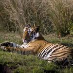 """""""Tiger_123"""" by RaysImages"""