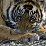 """""""Tiger_127"""" by RaysImages"""