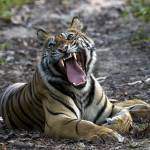"""""""Tiger_128"""" by RaysImages"""