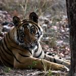 """""""Tiger_129"""" by RaysImages"""