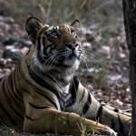 """""""Tiger_130"""" by RaysImages"""