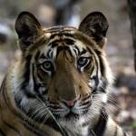"""""""Tiger_131"""" by RaysImages"""