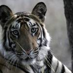 """""""Tiger_132"""" by RaysImages"""