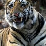 """""""Tiger_133"""" by RaysImages"""