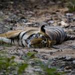 """""""Tiger_134"""" by RaysImages"""