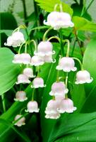 Lily of the Valley I