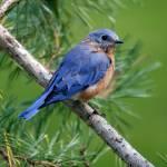 """Christmas Bluebird"" by dalerobert"