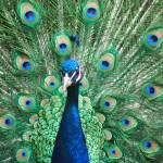 """""""Peacock"""" by EssentialBriezzePhoto"""