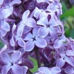 """Highland Park, Rochester NY - Lilacs"" by stacywest"
