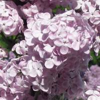 Highland Park, Rochester NY - Lilacs Art Prints & Posters by Stacy West