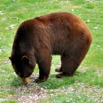 """""""Maine Brown Bear"""" by EssentialBriezzePhoto"""