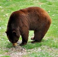 Maine Brown Bear