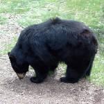"""""""Maine Black Bear"""" by EssentialBriezzePhoto"""
