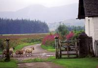 Sheep crossing Scotland