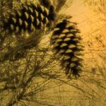 """Two Pine Cones"" by spadecaller"