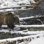 """""""One Step At A Time - A Grizzly Philosophy"""" by the-hole-picture"""