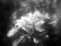 apple blossoms #3, black and white