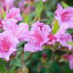 """Pink Azalea under flash"" by ianclasper"