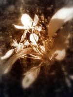 apple blossoms #4, sepia