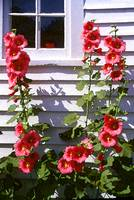 Country Home Hollyhocks