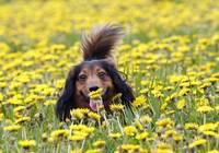 Dachshund on a meadow in bloom