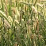 """Golden Waves of Grain I"" by jennbass"