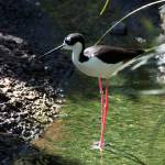 """Black-necked Stilt"" by Anna-Kreider"