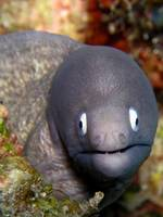 White Eye Moray Eel