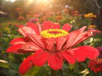 Red Zinnia During Sunset