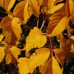 """""""Autumn leaves - NSW Snowy Mountains"""" by Highcountryimaging"""
