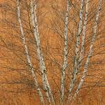 """Birch Coppice"" by peacefuleye"