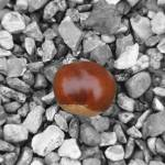"""Conker"" by milesphotography"