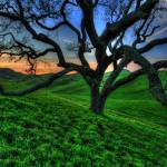 """Oak Tree 1"" by HDRoncanvas"