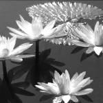 """""""fleur d"""