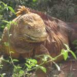 """""""iguana"""" by feministnoise"""