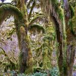"""PICT0077 NP OLYMPIC MOSS DRAPED TREES"" by KEITHMOUL"
