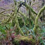 """PICT0083 NP OLYMPIC MOSS DRAPED TREE"" by KEITHMOUL"