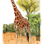 """Reticulated Giraffe"" by inkart"