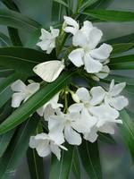 White Oleander &Cabbage Moth