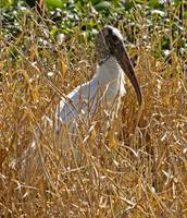 Wood Stork In The Reeds