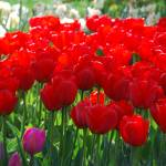 """Red Tulips Skagit Valley"" by Arlene010"